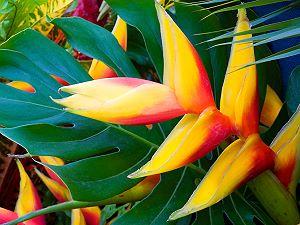Bec de perroquet (héliconia)