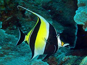 Liste des poissons tropicaux du lagon proche des plages for Poisson tropicaux