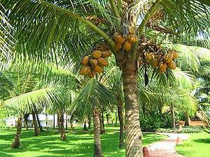 Les cocotiers palmiers et arbres tropicaux qui bordent - Palmier noix de coco ...