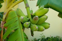 Bananes, Cuba