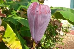 Fleur de bananier, Cuba