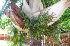 Cuba, palmier