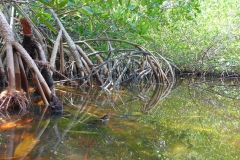 Cuba, Varadero, Réserve d'Hicacos, mangrove