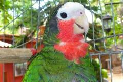 Cuba, perroquet