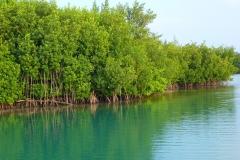 Cuba, mangrove