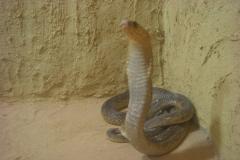 Hurghada, Egypte, désert, serpent
