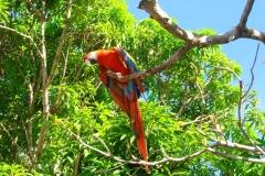 Guyane, perroquet