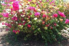 Guyane, fleurs, bougainvilliers