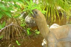 Ile Maurice, Crocodile Vanilla Park, tortue géante