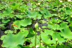 Ile Maurice, Jardin de Pamplemousse, lotus, hydrophobe