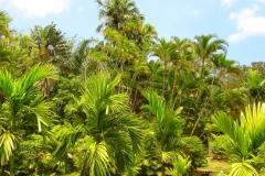 Ile Maurice, Jardin de Pamplemousse, palmier