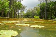 Ile Maurice, Jardin de Pamplemousse, nénuphar, géant