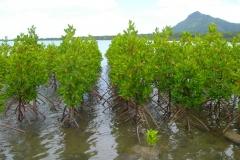 Ile Maurice, Rivière noire, mangrove
