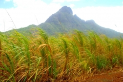 Ile Maurice, canne à sucre
