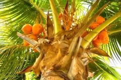 Ile Maurice, cocotier, noix de coco