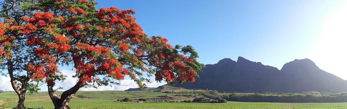 Ile Maurice, Flamboyants arbres à fleurs rouges magnifiques