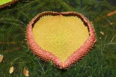 Ile Maurice, Jardin de Pamplemousse, nénuphar coeur