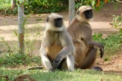 Ajanta, Inde, Singe