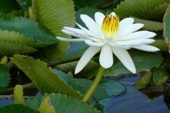 Aurangabad, Inde, fleur