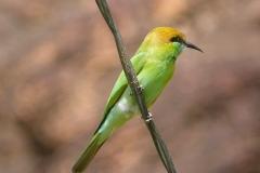 Badami, Inde, oiseau