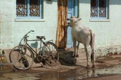 Bijapur, Inde, vache