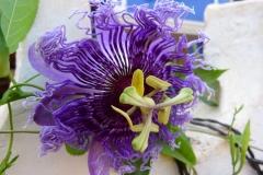Goa, Inde, fleur