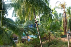 Goa, Inde, cocotier