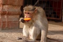 Hampi, Inde, singe