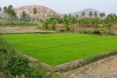 Hampi, Inde, riz