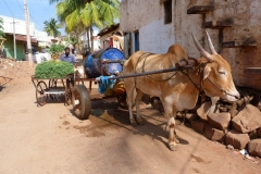 Pattadakal Aihole, Inde, buffle