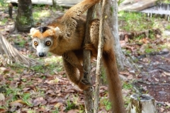 Madagascar, lémurien