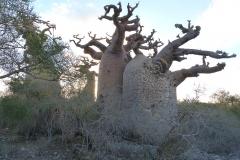 Madagascar, baobab