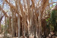 Madagascar, arbre