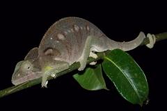 Madagascar, faune, caméléon