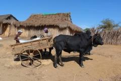 Madagascar, campagne, buffle