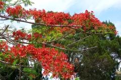 Malaisie, fleur