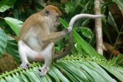 Malaisie, singe