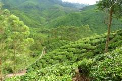 Malaisie, champs de théiers