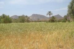 Maroc, Grand sud, oasis, blé, palmeraie
