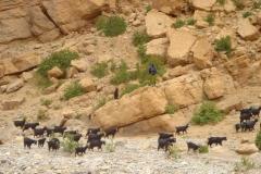 Maroc, Grand sud, bergère, chêvres