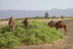 Maroc, Grand sud, palmeraie, dromadaire