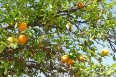 Maroc, Marrakech, orange, oranger