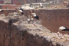 Maroc, Marrakech, Palais El Badiî, cigogne