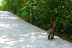 Mexique, Playa Del Carmen, coati