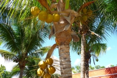 Mexique, Noix de coco, cocotier