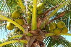 Mexique, Yucatan, cocotier