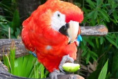 Mexique, Yucatan, Riviera Maya, Perroquet