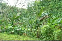 bananier, Las Galeras, République Dominicaine, Caraïbes