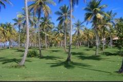 cocotier, cocoteraie, Las Galeras, République Dominicaine, Caraïbes