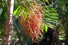 palmier, Las Galeras, République Dominicaine, Caraïbes